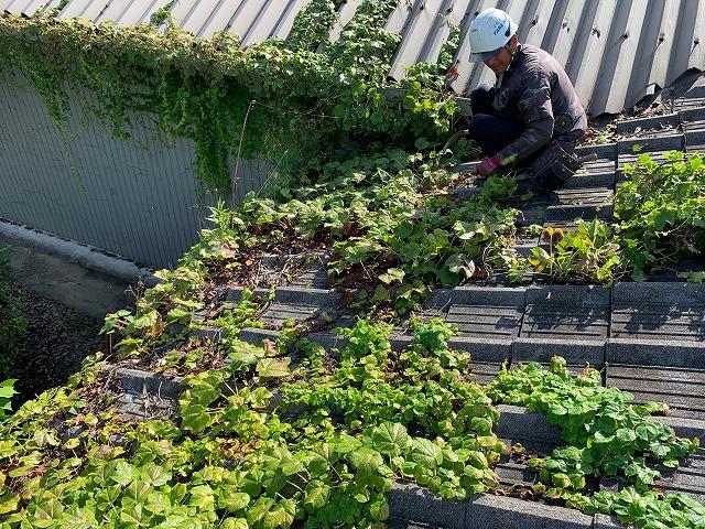 屋根に絡みついた蔦の除去
